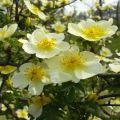 黄刺玫的春