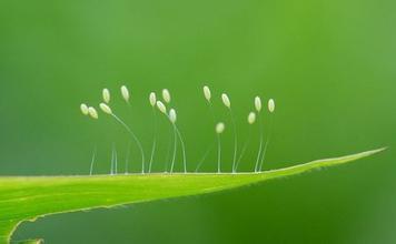 草蛉卵.jpg