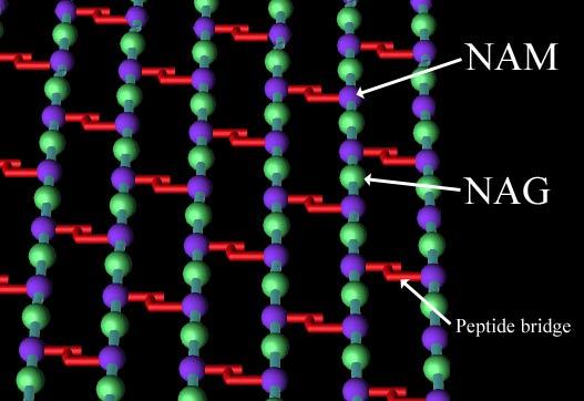 肽聚糖.jpg