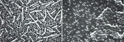 留存在尼龙和多聚碳酸酯滤膜上的杆菌.jpg