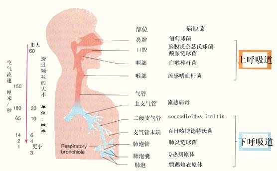 呼吸系统致病微生物