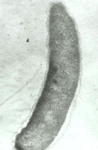 一种厌氧弧菌的超薄切片.jpg