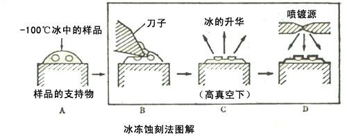 冰冻蚀刻法制备原理.jpg