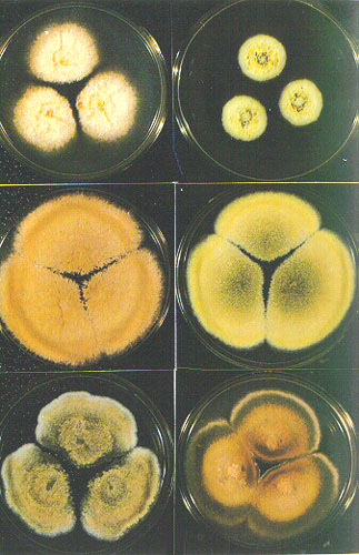 霉菌的菌落.jpg