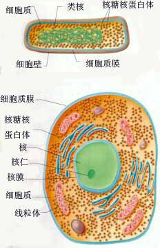 原核和真核细胞模式图.jpg