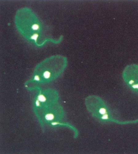 荧光抗体染色的原生动物.jpg
