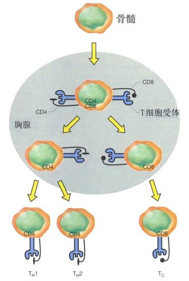 T细胞及其亚型.jpg